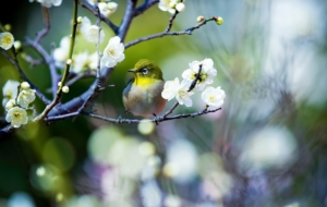 Japanese White Eye HD Wallpaper