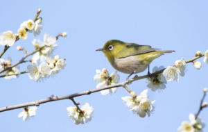Japanese White Eye High Definition
