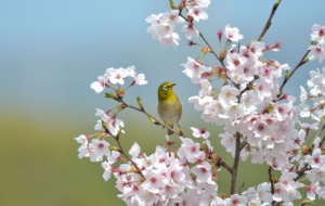 Japanese White Eye High Definition Wallpapers