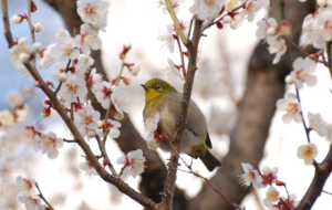 Japanese White Eye Full HD