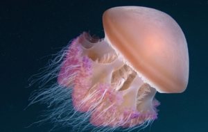 Jellyfish Widescreen
