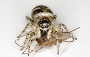 Jumping Spider Computer Backgrounds