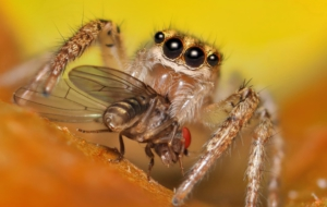 Jumping Spider Desktop