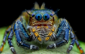 Jumping Spider HD Wallpaper