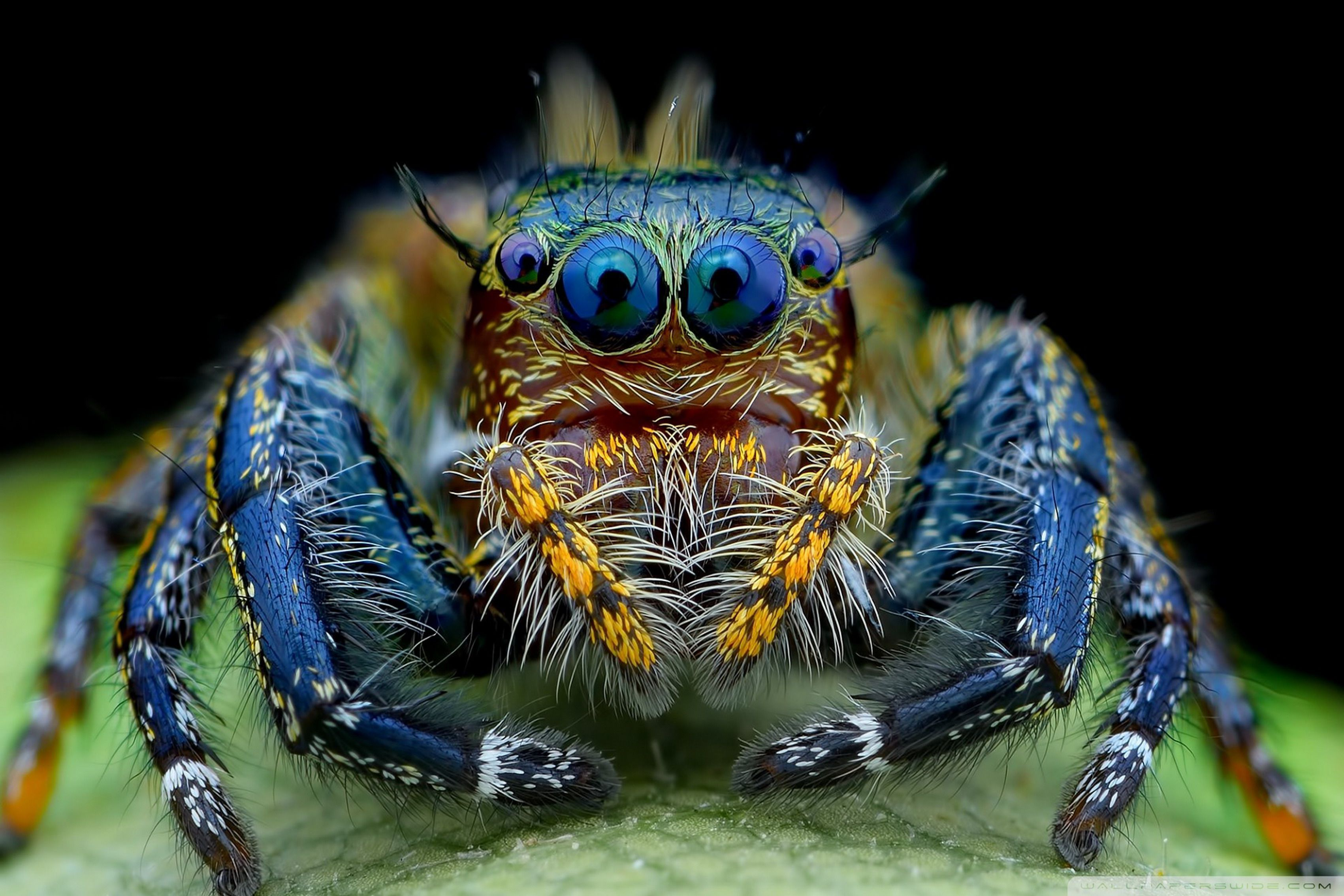 jumping spider wallpapers backgrounds