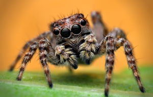 Jumping Spider High Quality Wallpapers