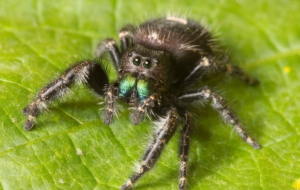 Jumping Spider Full HD