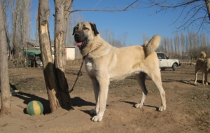 Kangal Dog HD