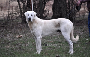 Kangal Dog High Definition