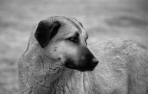 Kangal Dog Pictures