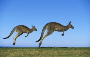 Kangaroo High Definition