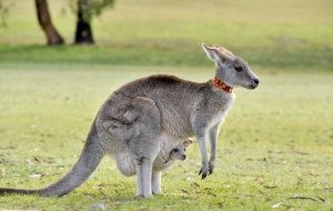 Kangaroo Full HD