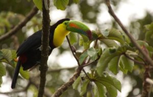 Keel Billed Toucan 4K