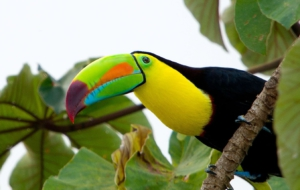 Keel Billed Toucan Background