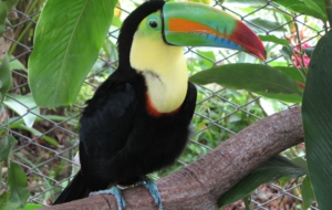 Keel Billed Toucan Computer Backgrounds
