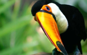 Keel Billed Toucan Desktop Images