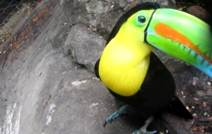 Keel Billed Toucan Desktop Wallpaper