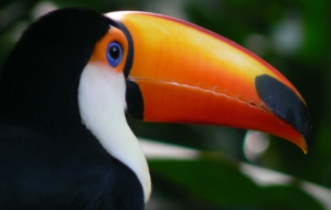 Keel Billed Toucan Download Free Backgrounds HD