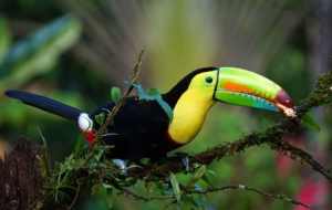 Keel Billed Toucan HD