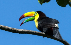 Keel Billed Toucan HD Background
