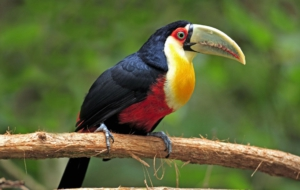 Keel Billed Toucan HD Desktop