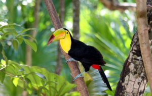 Keel Billed Toucan For Desktop