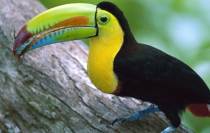 Keel Billed Toucan For Desktop Background