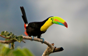 Keel Billed Toucan Full HD