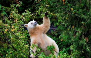 Kermode Bear Background