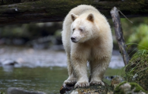 Kermode Bear High Definition Wallpapers