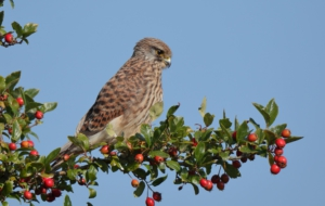 Kestrel High Definition Wallpapers