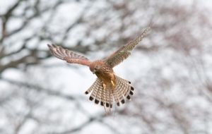 Kestrel Photos
