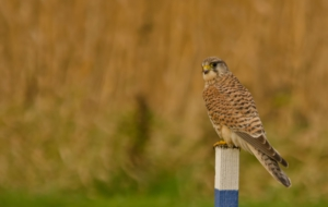 Kestrel Wallpapers HD