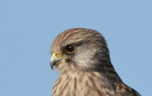 Kestrel Widescreen