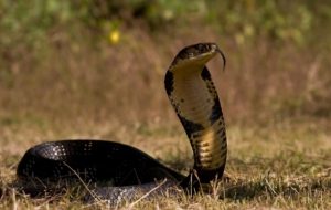 King Cobra Background