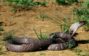 King Cobra Images