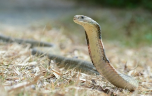 King Cobra Full HD