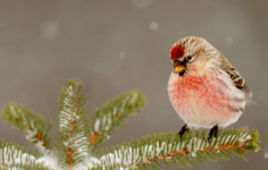 Pictures Of Сommon Redpoll