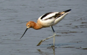 Pictures Of American Avocet