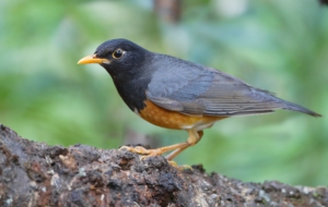 Pictures Of American Robin