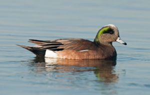 Pictures Of American Wigeon