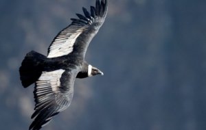 Pictures Of Andean Condor