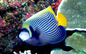 Pictures Of Angelfish