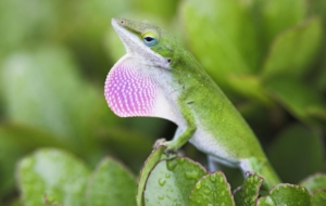 Pictures Of Anole