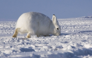 Pictures Of Arctic Hare