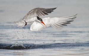 Pictures Of Arctic Tern
