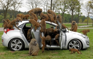 Pictures Of Baboon
