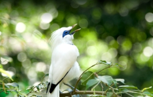 Pictures Of Bali Myna