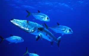 Pictures Of Barracuda