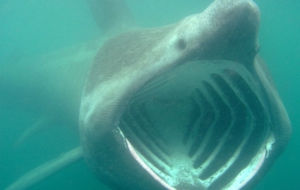 Pictures Of Basking Shark